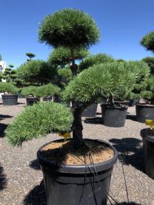 1681 - Borovice lesní - Pinus sylvestris