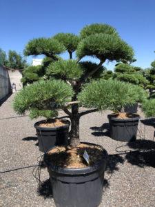 1682 - Borovice lesní - Pinus sylvestris