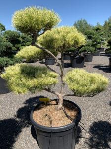 1683 - Borovice hustokvětá - Pinus densiflora 'Oculus-draconis'