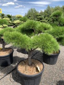 1685 - Borovice pokroucená - Pinus contorta