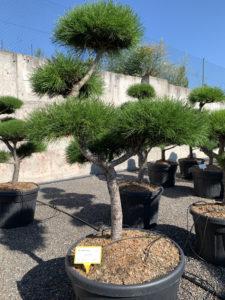 1686 - Borovice pokroucená - Pinus contorta
