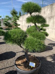 1687 - Borovice pokroucená - Pinus contorta