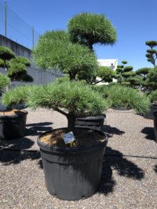 1688 - Borovice lesní - Pinus sylvestris
