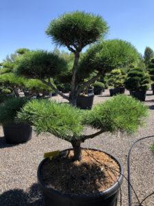 1689 - Borovice lesní - Pinus sylvestris