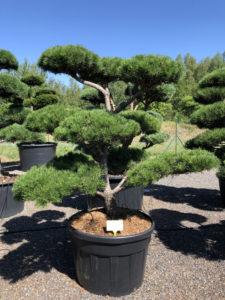 1691 - Borovice pokroucená - Pinus contorta