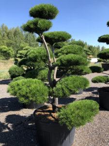 1692 - Borovice pokroucená - Pinus contorta