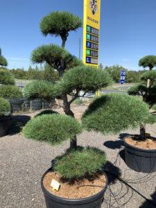 1693 - Borovice lesní - Pinus sylvestris