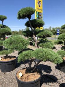 1694 - Borovice lesní - Pinus sylvestris