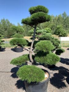 1695 - Borovice pokroucená - Pinus contorta