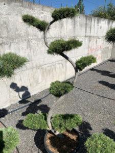 1697 - Modřín japonský - Larix kaempferi