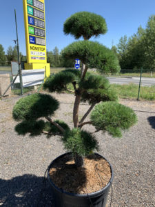 1707 - Borovice lesní - Pinus sylvestris