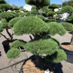 1708 - Borovice lesní - Pinus sylvestris