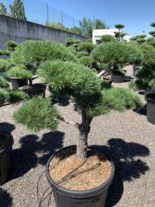 1709 - Borovice lesní - Pinus sylvestris