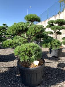 1710 - Borovice lesní - Pinus sylvestris