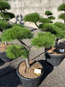 1713 - Borovice pokroucená - Pinus contorta
