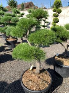 1714 - Borovice pokroucená - Pinus contorta