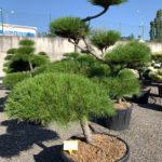 1715 - Borovice pokroucená - Pinus contorta