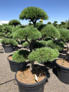 1717 - Borovice lesní - Pinus sylvestris