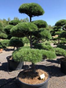 1718 - Borovice lesní - Pinus sylvestris
