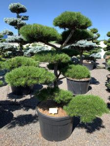 1719 - Borovice pokroucená - Pinus contorta