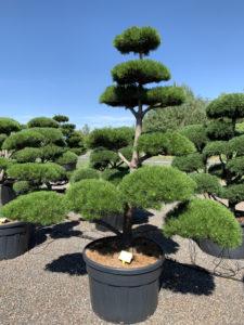 1720 - Borovice pokroucená - Pinus contorta