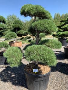 1721 - Borovice lesní - Pinus sylvestris