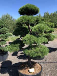 1722 - Borovice lesní - Pinus sylvestris
