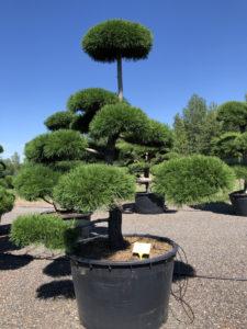 1723 - Borovice pokroucená - Pinus contorta