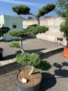 1731 - Modřín japonský - Larix kaempferi