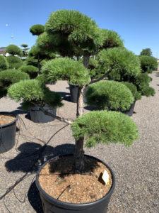 1733 - Borovice lesní - Pinus sylvestris