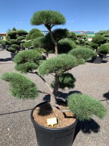 1734 - Borovice lesní - Pinus sylvestris