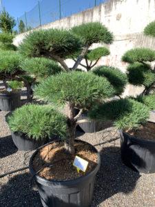 1735 - Borovice lesní - Pinus sylvestris