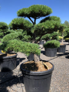 1736 - Borovice lesní - Pinus sylvestris