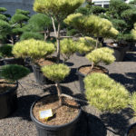 1737 - Borovice hustokvětá - Pinus densiflora 'Oculus-draconis'