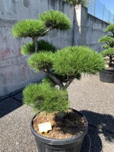 1739 - Borovice pokroucená - Pinus contorta