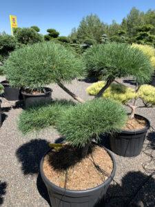 1741 - Borovice lesní - Pinus sylvestris