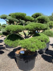 1743 - Borovice pokroucená - Pinus contorta