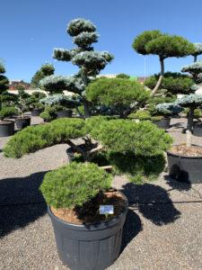 1744 - Borovice pokroucená - Pinus contorta