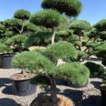 1745 - Borovice lesní - Pinus sylvestris