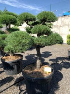 1753 - Borovice lesní - Pinus sylvestris