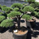 1755 - Borovice lesní - Pinus sylvestris