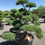 1756 - Borovice lesní - Pinus sylvestris