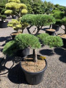 1757 - Borovice lesní - Pinus sylvestris