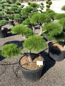 1758 - Borovice pokroucená - Pinus contorta