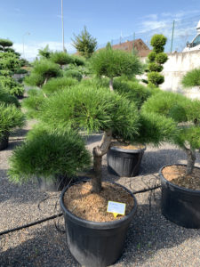 1759 - Borovice pokroucená - Pinus contorta