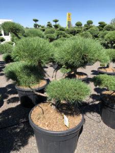 1760 - Borovice lesní - Pinus sylvestris