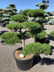 1761 - Borovice pokroucená - Pinus contorta