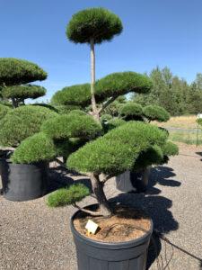 1762 - Borovice pokroucená - Pinus contorta