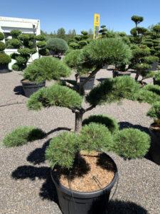 1763 - Borovice lesní - Pinus sylvestris