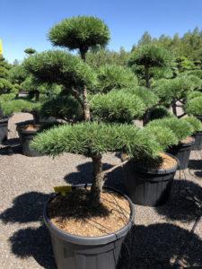 1764 - Borovice lesní - Pinus sylvestris